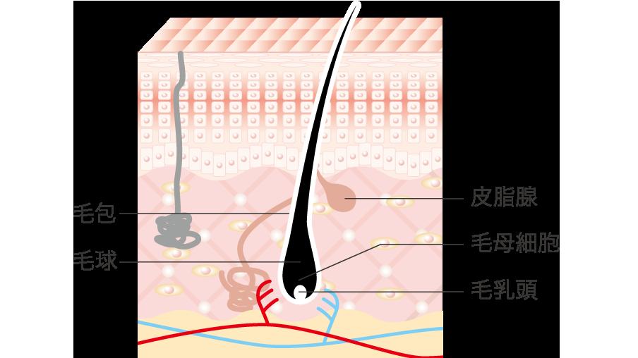 毛包毛球皮脂腺毛母細胞毛乳頭